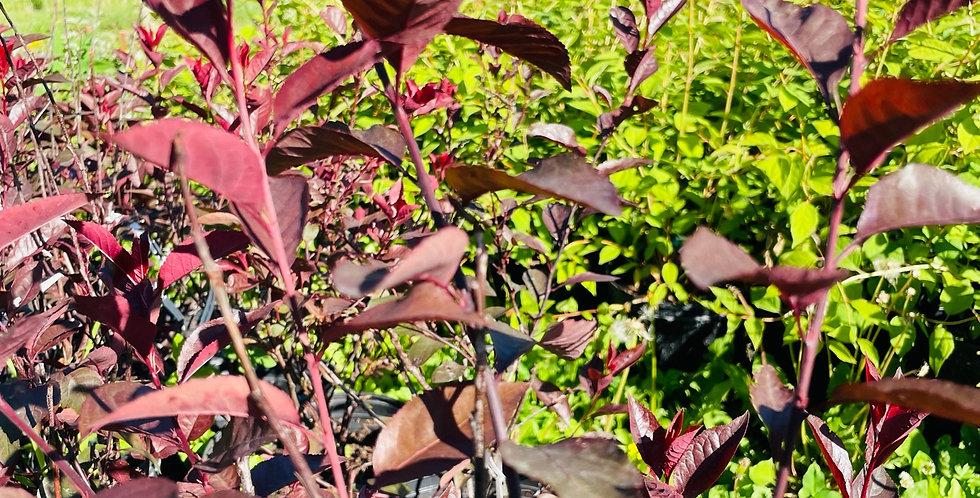 Vine - Engleman Ivy