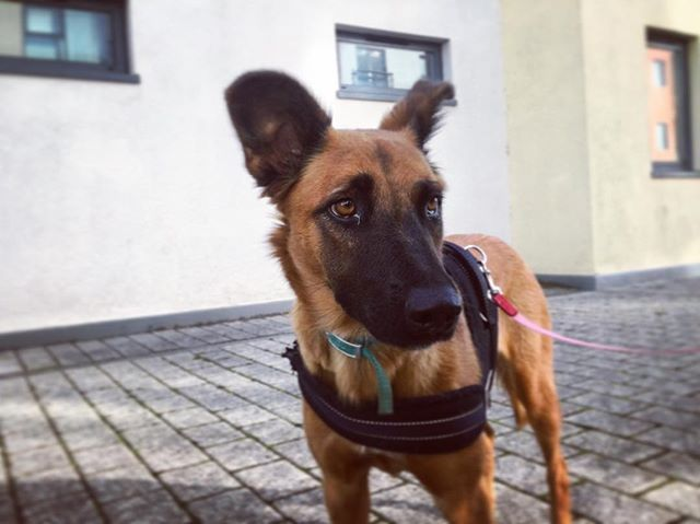 How beautiful is Callisto😍 shes an 8 month old belgian shepherd malinois, lovely walk today🐶 #dogw