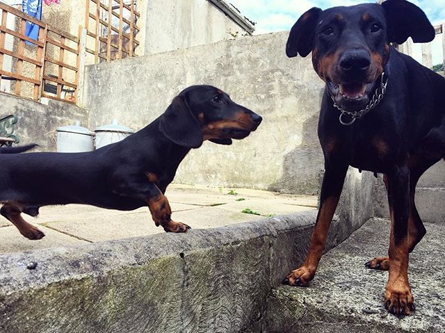 Just visited these two beauties! Lady a 6 year old Doberman and Beast an 8 month old dachshund🖤 #do