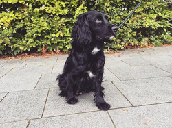 Lovely walk today with indie🖤 #swanseadogwalker #dogwalking #swanseadogwalking #dog #cockerspaniel