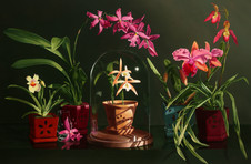 Mysteries at Risk (orchids) 1500.jpg