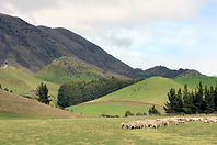 merino sheep in NZ landscape.jpg