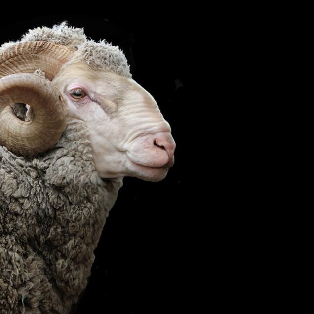 ZQ Wool