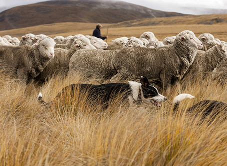 What 'ethical' wool really means