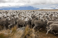 National Geographic high country sheep h