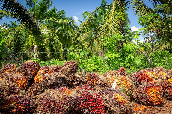 Palm oil in Montes de Maria, Colombia