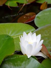 White_Water_Lily_Vert_063007.jpg