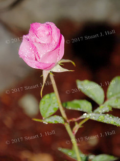 Pink_Rose_41_070207.jpg