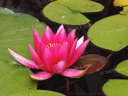 Pink_Water_Lily_Horiz_190_063007.jpg