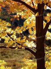 Backlit_Yellow_Maple_Tree.jpg