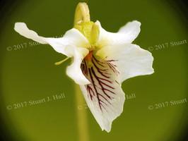 Micro_Violet_32_40_052408.jpg