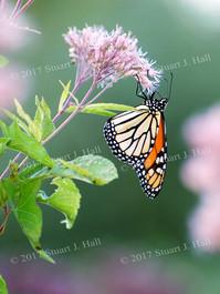 Monarch_0284_082907.jpg