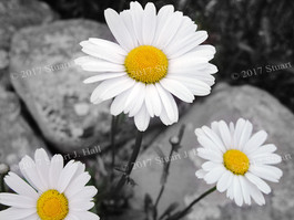 Triple_Daisies_0053_061002.jpg