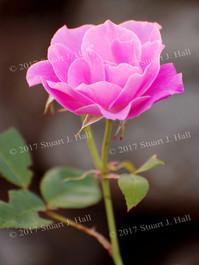 Pink_Rose_0243_081507.jpg