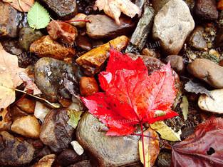 Maple_Leaf_0028_100502.jpg