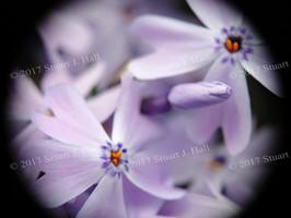 Phlox_043_051408.jpg