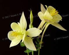 Yellow_Columbine_Flower_2.jpg