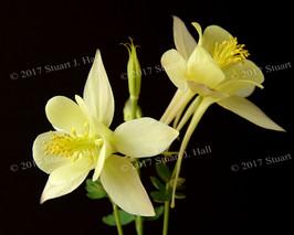 Yellow_Columbine_Flower_2.jpg