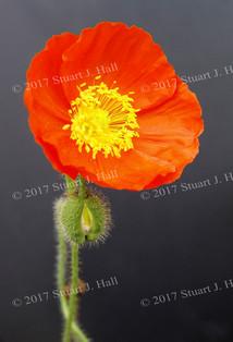 Orange_Poppy.jpg