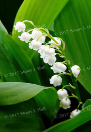 Lily_of_the_Valley.jpg