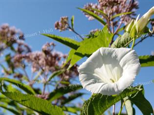 Morning_Glory_Blue_Sky.jpg