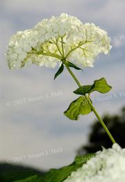 White_Hydrangea_2.jpg