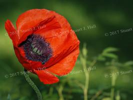 Orange_Poppy_008_060708.jpg
