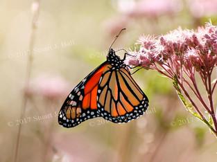Monarch_0361_Horz_081707.jpg