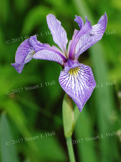 Purple_Iris_Out_Back_005_061408.jpg