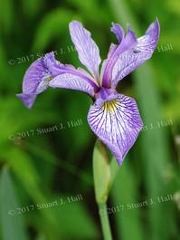 Purple_Iris_Out_Back_005_061408.jpg