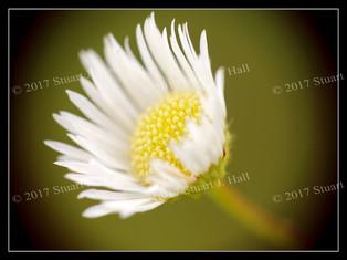 Mini_Daisy_297_080707.jpg