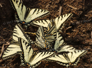 Yellow_Swallow_Tail_on_Compost_0185_060708.jpg