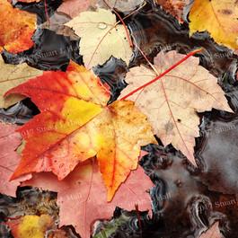 RY_Maple_Leaves_0013_100608.jpg