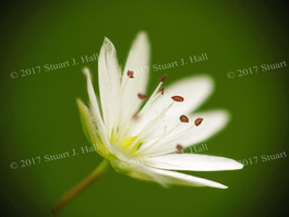 White_Flower_010_015_062608.jpg