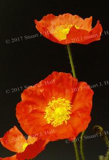 Orange_Poppy_2.jpg