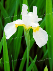 White_Yellow_Iris_061107.jpg