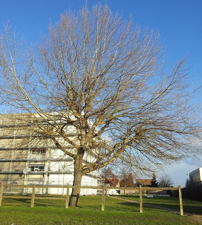 une taille d'arbre avant.jpg