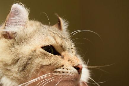 Highlander Simba | Purrfect Lynx