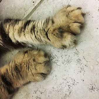 Polydactyl Paws Exotic Cat