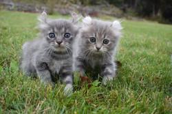 Highland Lynx Kittens