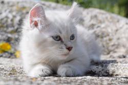 Purrfect Lynx - Highland Lynx Kittens (3