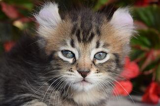 Highland Lynx Kitten | Highlander Kitten