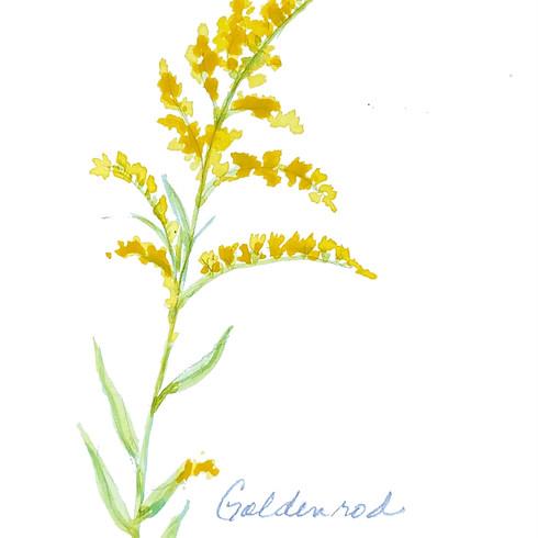 Goldenrod, Thyme, Oat Straw, & Chamomile