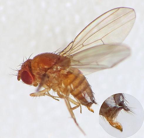 Spotted-wing_Drosophila_(Drosophila_suzu