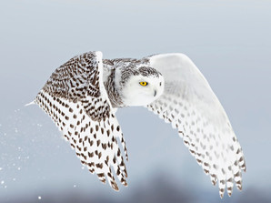 Snow Owls Flying North