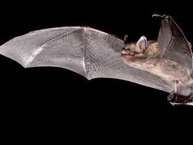 Oldest Bat Alive