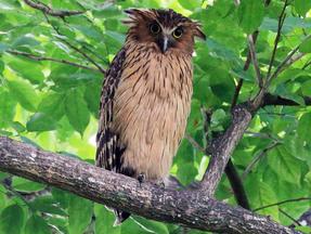 Rarest Owl On The Planet