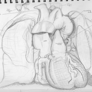 Anterior Thoracic Cavity Sketch