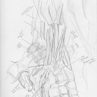 Hand Anatomy Sketch