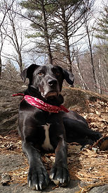 Jimmy the black rescue dog wearing bandana in Waterbury, VT